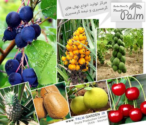 فروش نهال میوه گرمسیری